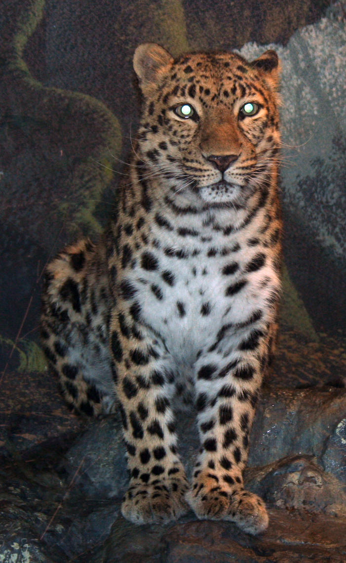 Denver Zoo 45 Leopard by Falln-Stock