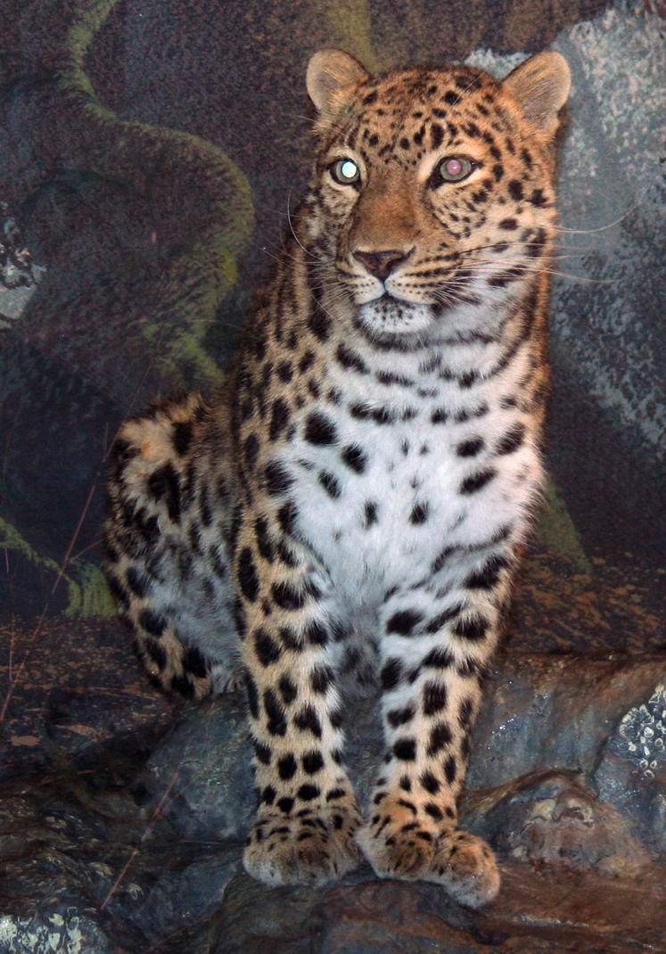 Denver Zoo 47 Leopard by Falln-Stock