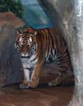 Denver Zoo 50 Tiger