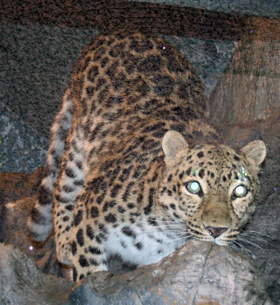 Denver Zoo 54 Leopard by Falln-Stock