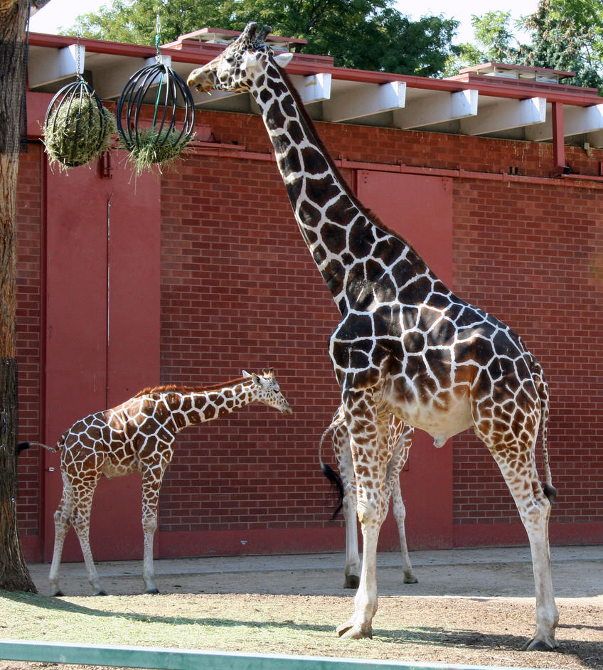 Denver Zoo 67 Giraffe By Falln-Stock On DeviantArt