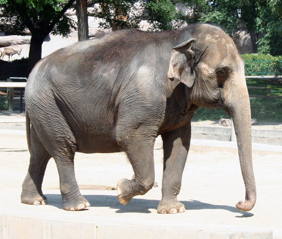 Denver Zoo 198 Elephant By Falln-Stock On DeviantART
