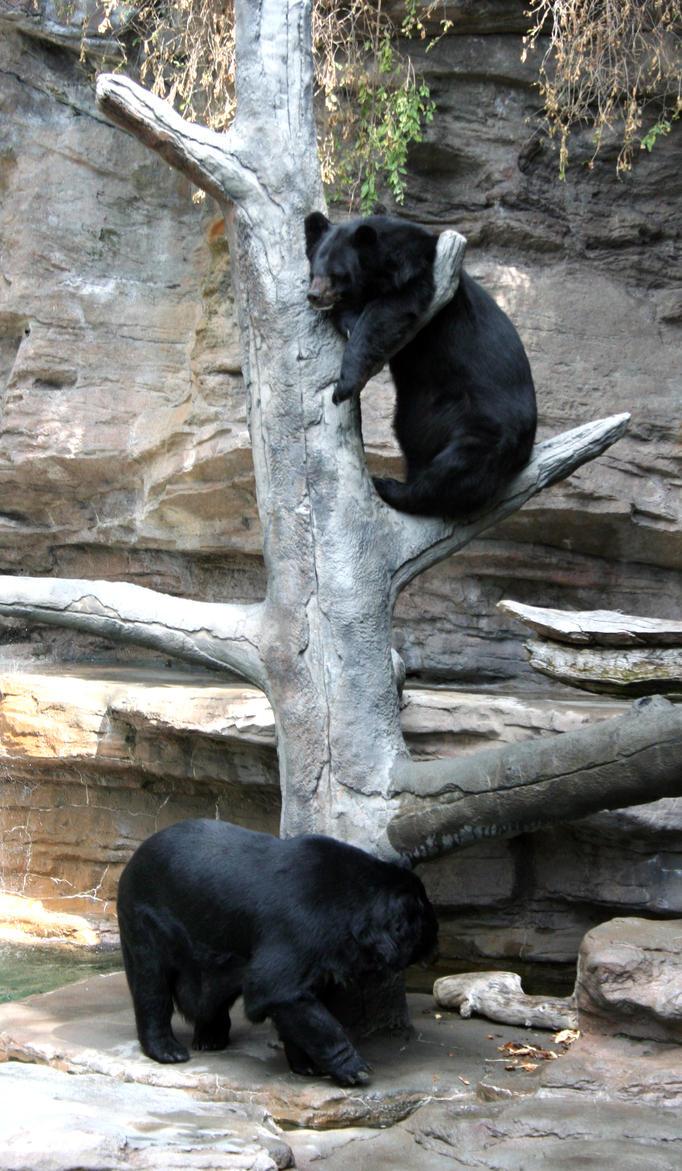 Denver Zoo 212 Bears by Falln-Stock