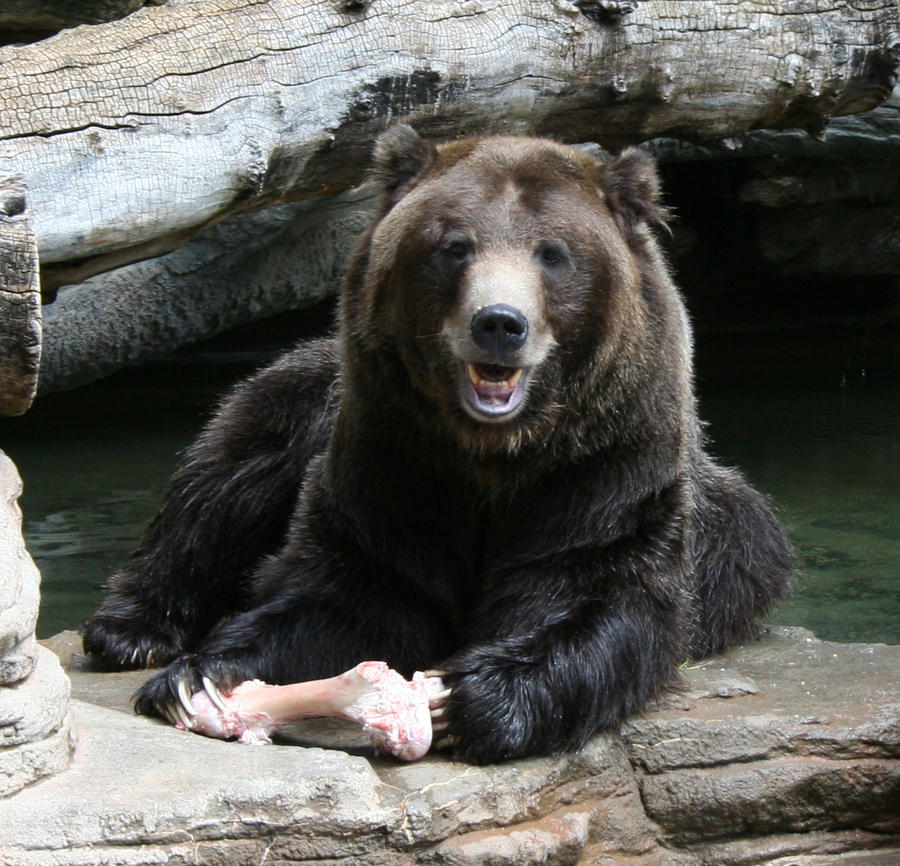 Denver Zoo 233 Bear By Falln-Stock On DeviantArt