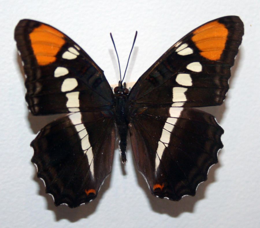 Photo Of Denver Museum Of Nature Science Entry: Denver Museum Butterfly 12 By Falln-Stock On DeviantArt