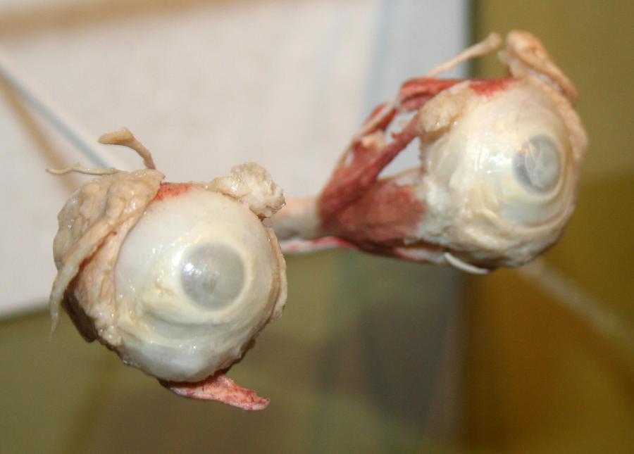 Denver Museum Anatomy Eyes 233 by Falln-Stock on DeviantArt