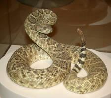 Denver Museum Rattlesnake 316 by Falln-Stock