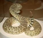 Denver Museum Rattlesnake 316