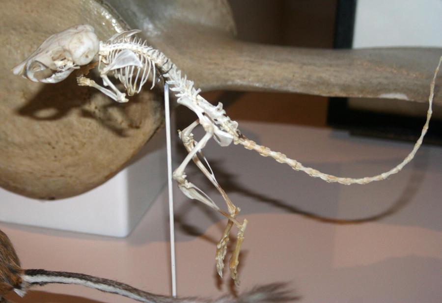 Denver Museum Rodent Skeleton 346 by Falln-Stock