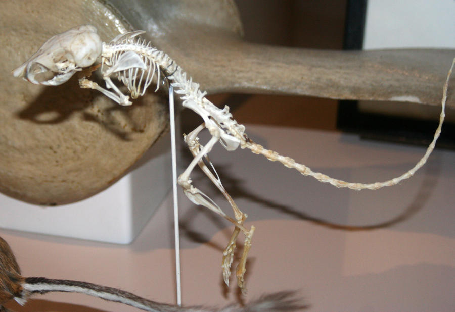 Denver Museum Rodent Skeleton 346