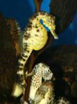 Denver Aquarium Seahorse 19
