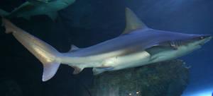 Denver Aquarium Shark 64