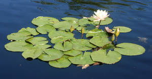 Denver Botanical Lilypads 37