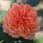 Denver Botanical Rose 54