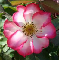 Denver Botanical Rose 60 by Falln-Stock