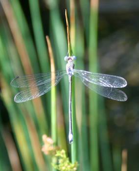Denver Botanical Dragonfly 117