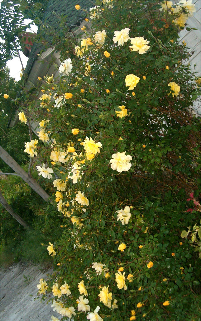 Yellow Rose Bush by Falln-StockYellow Rose Bushes Types