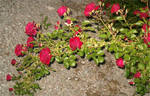 Red Rose Vines 1