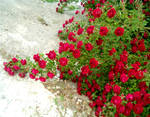 Red Rose Vines 3