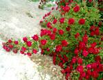 Red Rose Vines 3