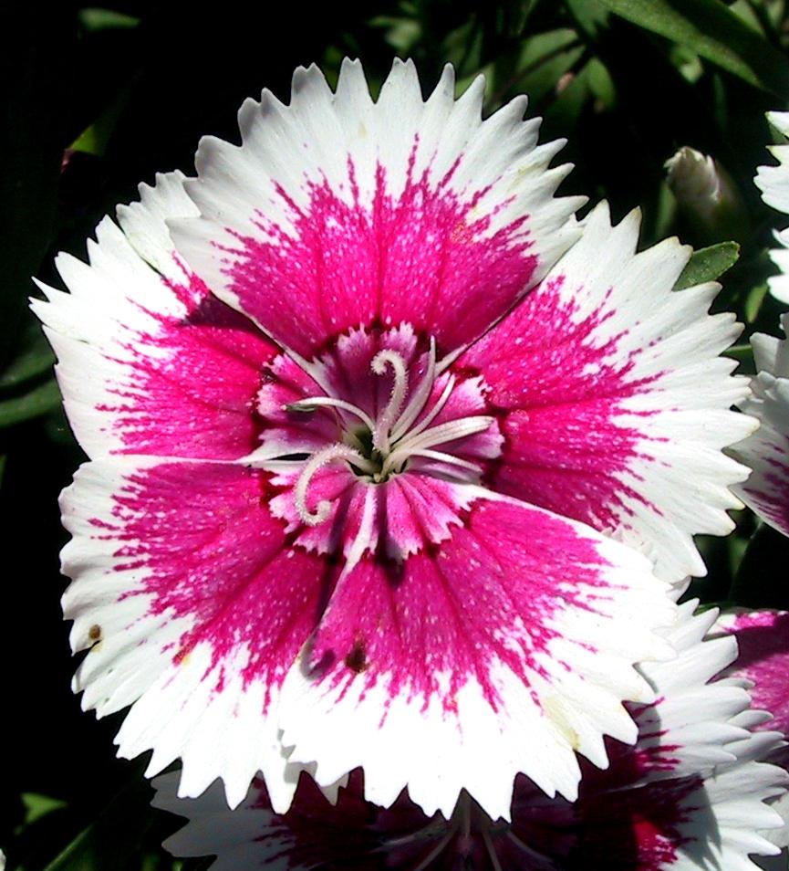 Falln Garden Dianthus 1 by Falln-Stock