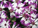Le Fleurs de Violette