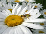 Bee Like Wasp on a Daisy