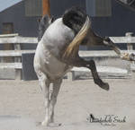 Grey Horse Stock 2 (Bucking)