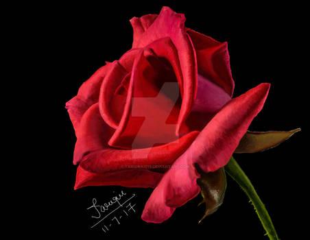 Rose Digital Painting