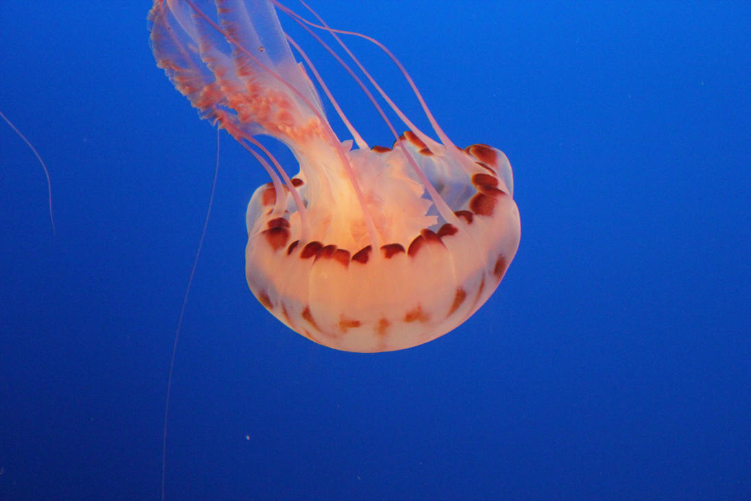 Chrysaora Colorata Jellyfish by Blicrowave-Bloven