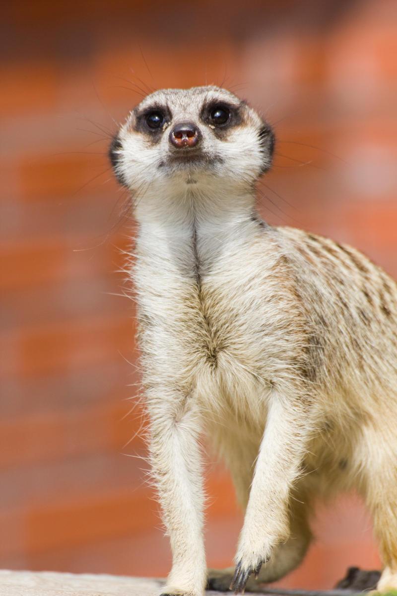 Meerkat by synystia