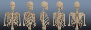 Skeleton Torso Reference