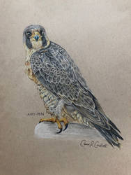 Peregrine Falcon by Art-RN