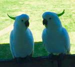 Cockatoos up close