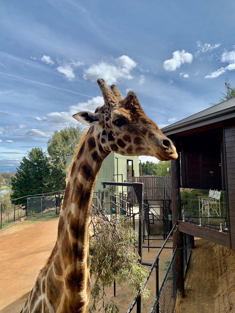 HUMBER - The Giraffe by tpallier