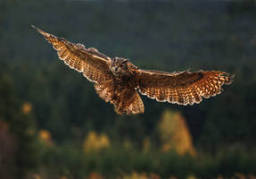 Hunting owl by Konakira