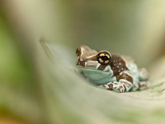 Cross frog by Konakira
