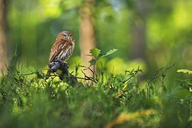 The Smallest Owl by Konakira