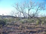Lone Mesquite