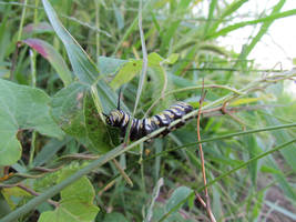 monarch catapiller by changanghua