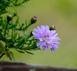 Purple Aster by Doc--Skitz