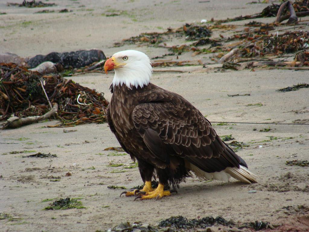 Eagle by speedyfearless