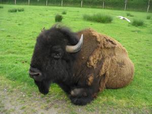 Bison 1