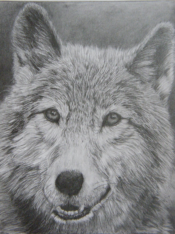 timber wolf pencil drawing by Dom579 on DeviantArt