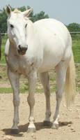 Polo Pony -32