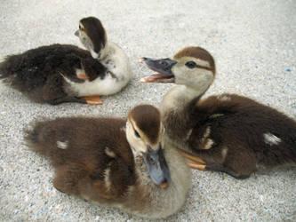 Ducklings by waterfowl