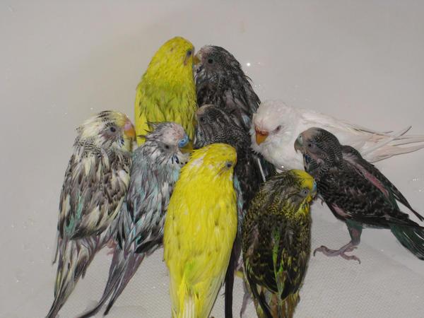 Wet Parakeets by shinigamisgem