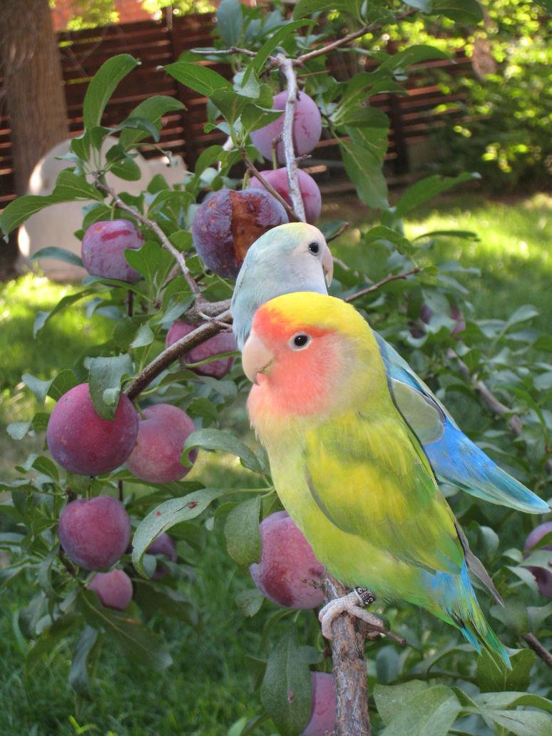 Love Birds in a Plum Tree by shinigamisgem