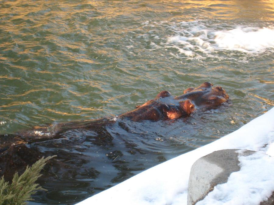 Hippo Submersion by shinigamisgem