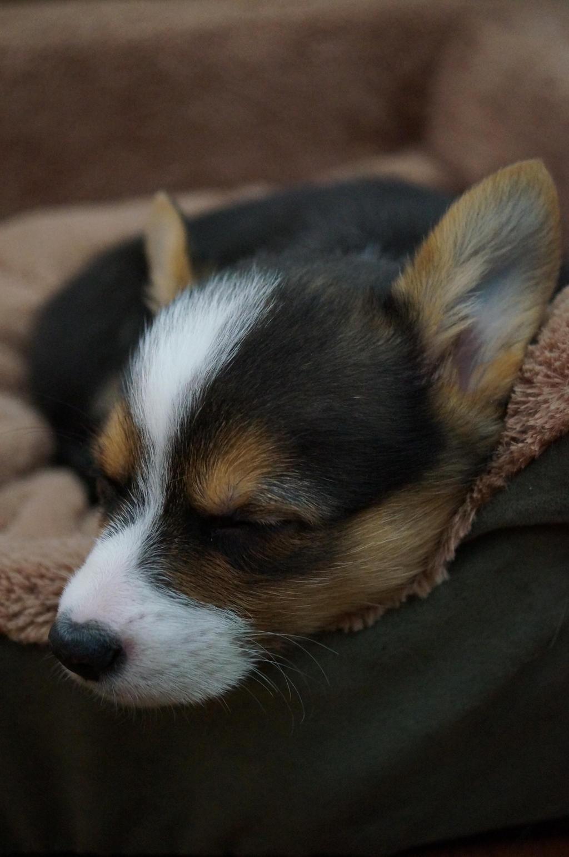 Sleeping pup by shinigamisgem